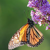 August 30 2018 - Monarch Butterfly