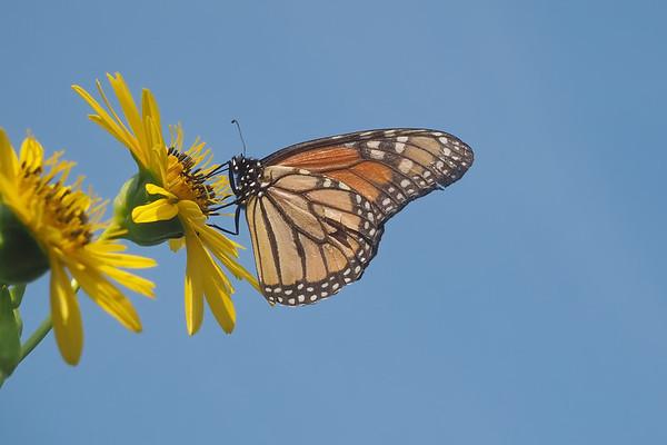 August 17 2018 - Monarch Butterfly