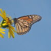 August 17 2018 - Monarch Butterfly