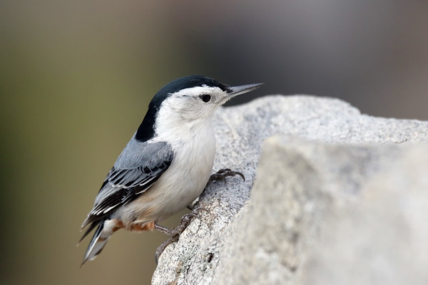 December 29 2018 - White Breasted Nuthatch