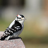 December 22 2018 - Downy Woodpecker