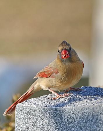 December 7 2018 - Female Northern Cardinal