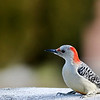 December 23 2018 - Red-Bellied Woodpecker