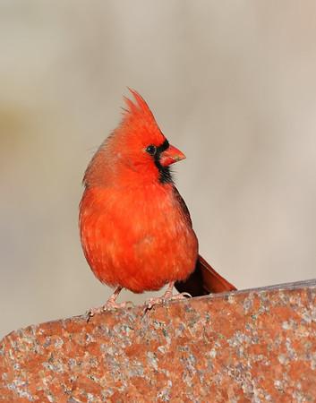 December 8 2018 - Northern Cardinal