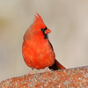 December 8 2018 - Northern Cardinal