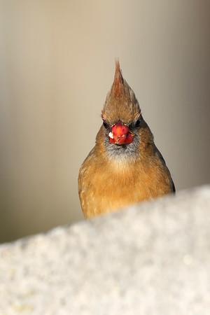 December 12 2018 - Female Northern Cardinal