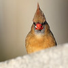 December 12 2018 - Female Northern Cardinal