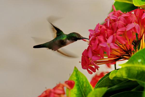 December 26 2018 - Vervain Hummingbird
