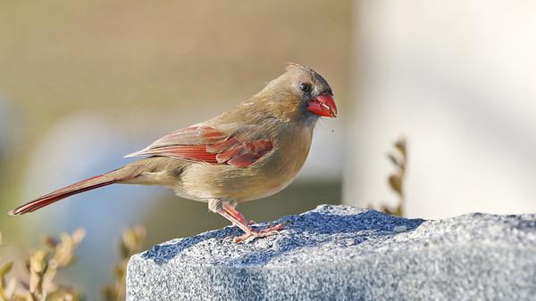December 24 2018 - Cardinal (Female)
