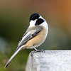 December 4 2018 - Chickadee