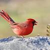 December 25 2018 - Cardinal (Male)