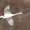 February 5 2018 - Trumpeter Swan
