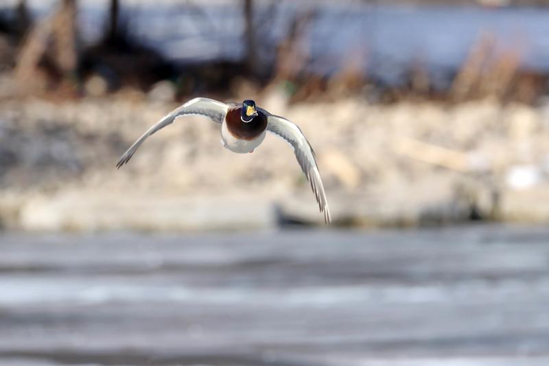 February 21 2018 - Mallard Duck