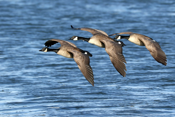 February 8 2018 - Canada Geese