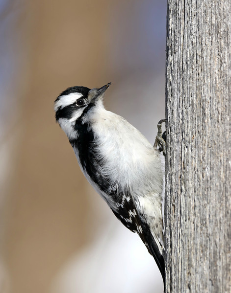 February 1 2018 - Downy Woodpecker