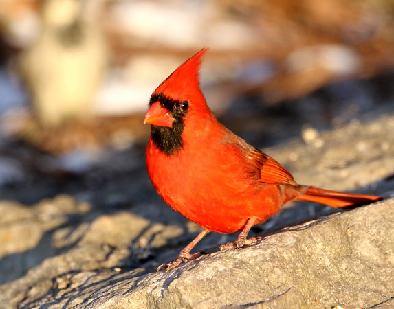 February 18 2018 - Northern Cardinal