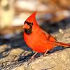 February 18 2018 - Northern Cardinal