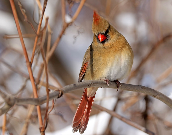 February 4 2018 - Female Northern Cardinal
