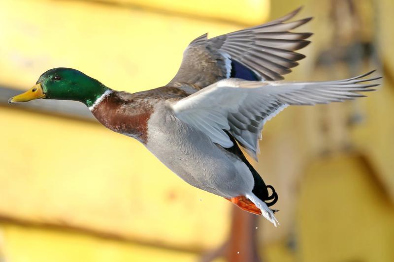 February 9 2018 - Male Mallard Duck