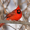 February 3 2018 - Male Northern Cardinal