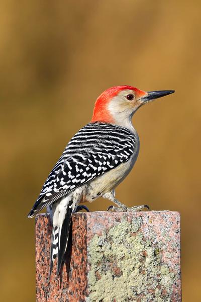February 19 2018 - Red-Bellied Woodpecker