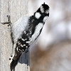 February 15 2018 - Downy Woodpecker