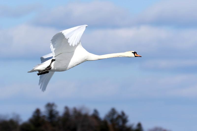 February 20 2018 - Mute Swan