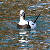 February 23 2018 - Long-Tailed Duck