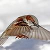 February 6 2018 - Sparrow