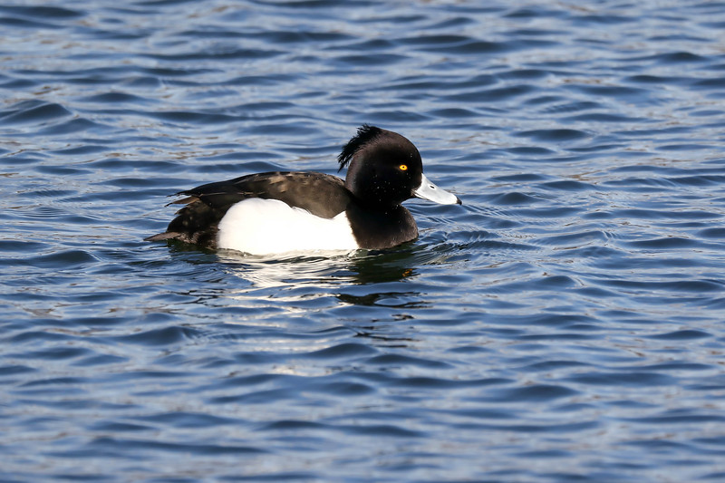 February 11 2018 - Tufted Duck