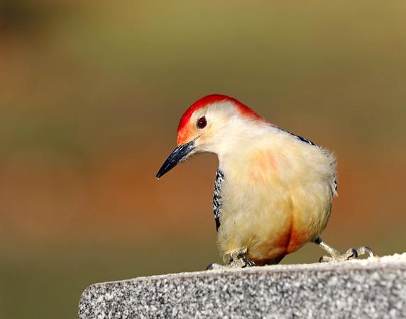 February 12 2018 - Red-Bellied Woodpecker
