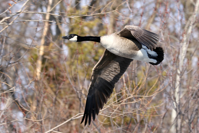 February 13 2018 - Canada Goose
