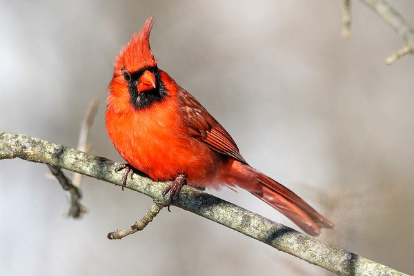 January 6 2018 - Male Northern Cardinal