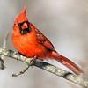 January 6 2018 - Male Northern Cardinal