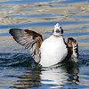 January 26 2018 - Long-Tailed Duck Wave