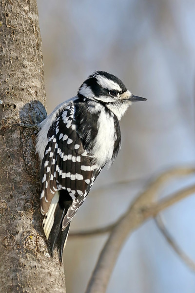 January 12 2018 - Female Downy Woodpecker