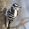 January 12 2018 - Female Downy Woodpecker