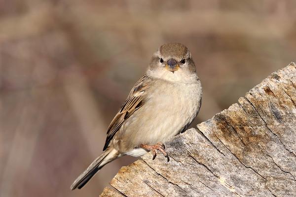 January 25 2018 - Sparrow