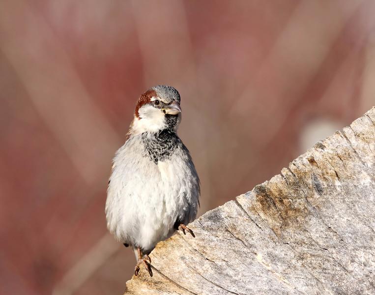 January 9 2018 - Sparrow