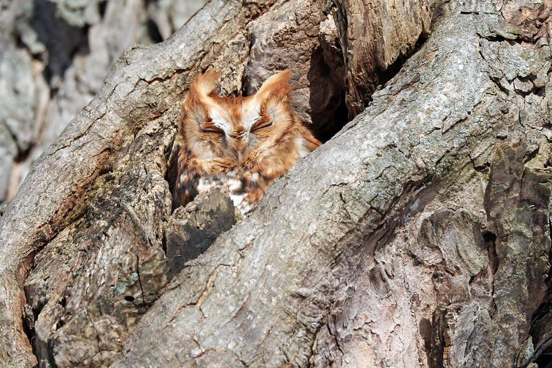 January 3 2018 - Eastern Screech Owl
