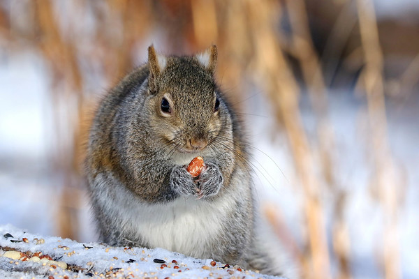 January 21 2018 - Squirrel