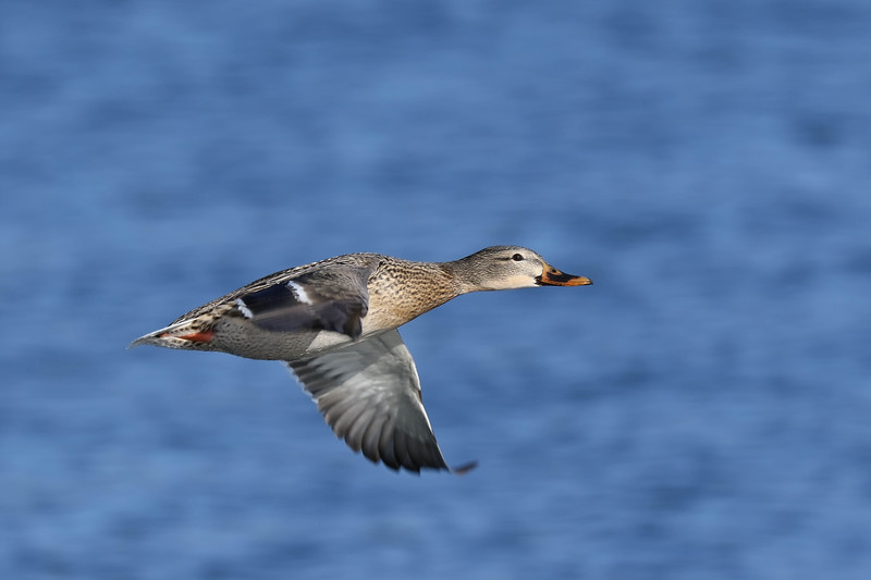 January 23 2018 - Mallard Fly By