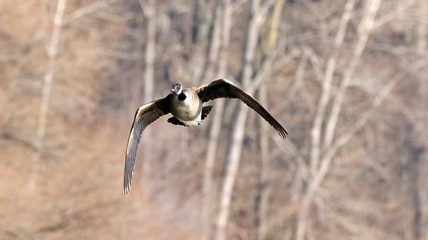 January 30 2018 - Canada Goose