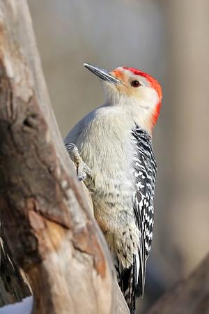 January 10 2018 - Red-Bellied Woodpecker