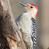 January 10 2018 - Red-Bellied Woodpecker