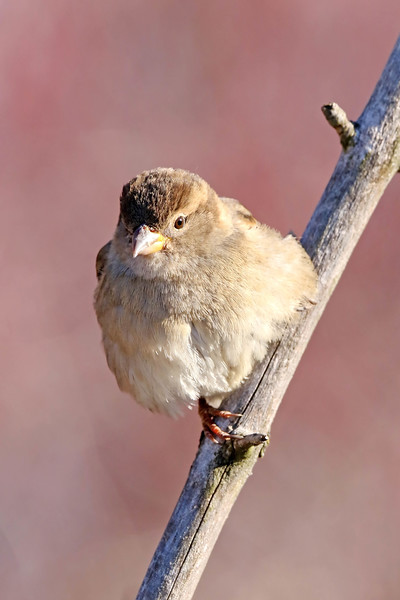 January 15 2018 - Sparrow