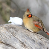January 7 2018 - Female Northern Cardinal