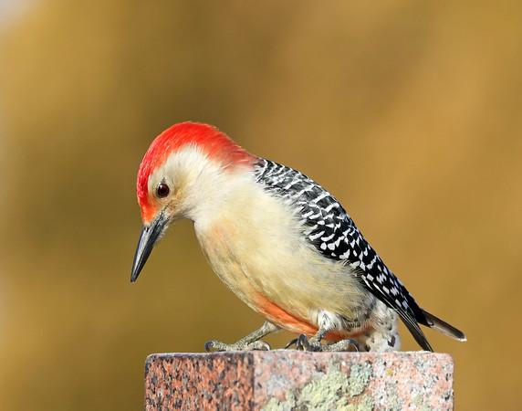 January 31 2018 - Red-Bellied Woodpecker