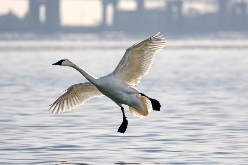 January 29 2018 - Trumpeter Swan