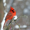 January 19 2018 - Northern Cardinal